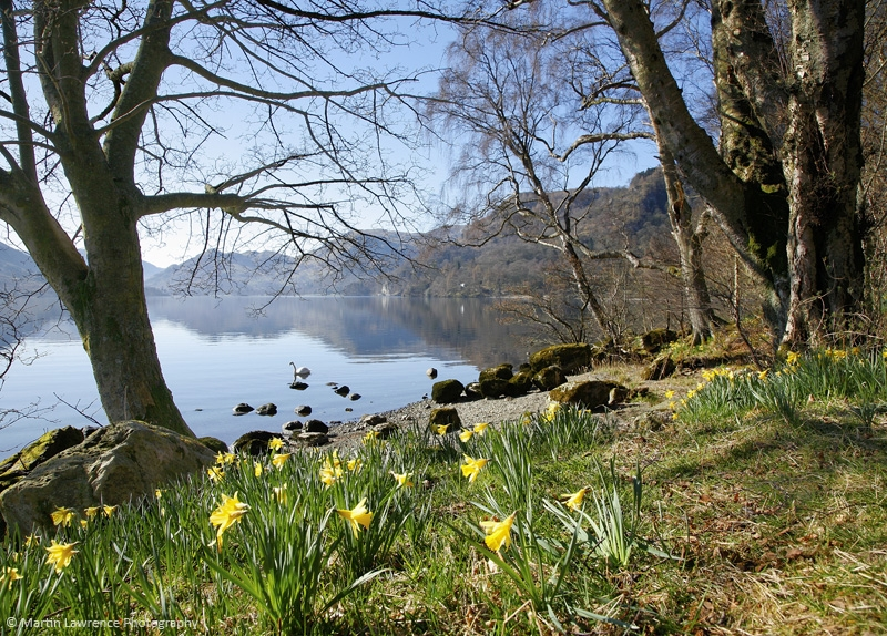 Golden Daffodils, Lake District